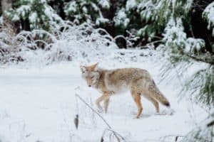 Coyote Hunting – The Ultimate Beginners Guide