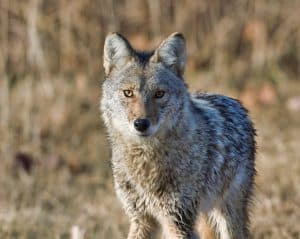Best Coyote Decoy For 2021 – Full Buyers Guide