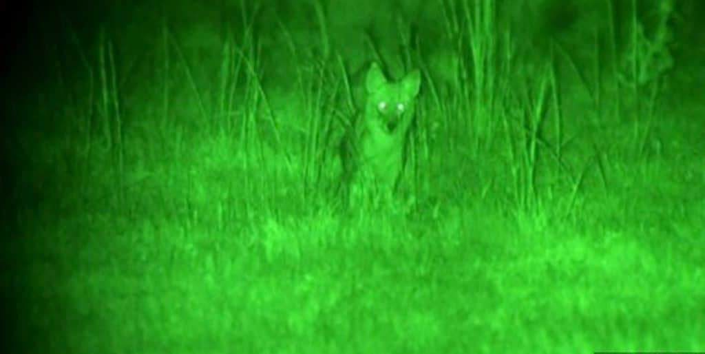 night vision coyote